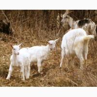 Молодняк молочных коз