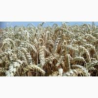 Купляємо фуражну пшеницю