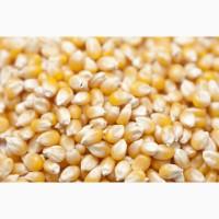 Оптова закупка КУКУРУДЗИ некласної, протравленої, битої та відходів кукурудзи