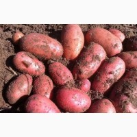 Продам картошку в больших обьемах