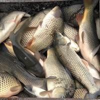 Продажа оптом свежей рыбы Карп Толстолоб Щука