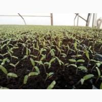 Выращиваем рассаду Огурца и других овощей в кассетах под заказ