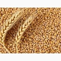 Продам посевной материал озимой пшеницы Грация суперэлита Краснодарской селекции