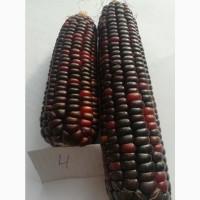 Продам семена разноцветной кукурузы