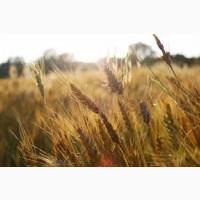 Куплю пшеницу 2-4 класса. Оптом