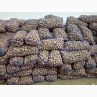Насінева картопля сорт Ривєра