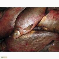 Рыба речная свежемороженная-плотва, густера, судак, лещ, синец и др