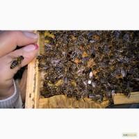 Пчелиные плодные ( меченые ) матки. Пчеломатки карпатка 2019