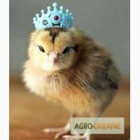 Цыплята Редбро (Redbro), Мастер Грей. суточные и подрощенные