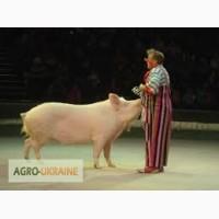 КомбикормАртек - вафли для свиней. Растут быстрей