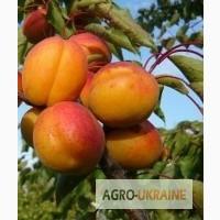 Купить саженцы абрикоса/нектарина для Вашего сада плодовые деревья Киев/Украина