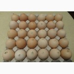 Яйця інкубаційні курей бройлерів РОСС-708 ( ROSS-708 ) Угорщина імпорт