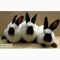Кролі каліфорнійської породи