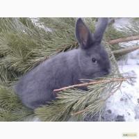 СРОЧНО Кролики породы Венский голубой