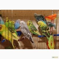 Яркие попугайчики для разговора. Попугай Выставочный чех