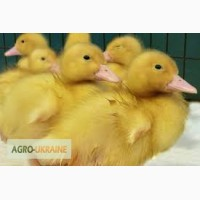Продам інкбаційне качине яйце та суточні каченята