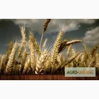 Закупка пшеницы.Опт
