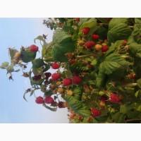 Продам саженці малини сортів Полка і Полана