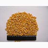 Кукуруза кремнистая, продажа на экспорт, 1500 тонн Харьковская обл