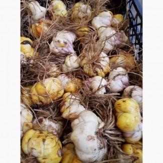 Продаю оптом луковицы лилий разных сортов с Нидерландов