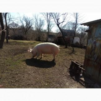 Продам свиноматок в хорошому стані