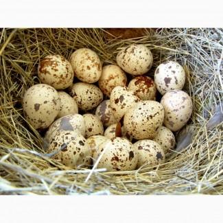 Перепелині яйця (інкубаційні, харчові). Тушка перепелина