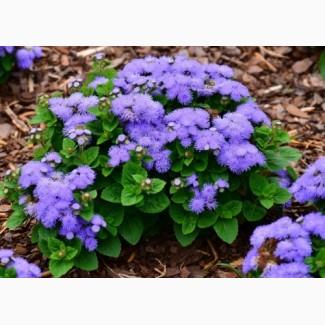 Продам однолетние растения ( опт от 100 шт)