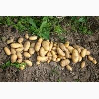 Продам посадкову картоплю сортів Гранада-3т та Рив#039;єра-1т