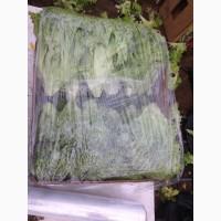 Продам салат листовой зелёный и красный, салат Ромен