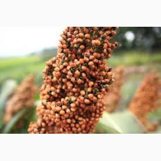 Зерновое сорго Анггі Anggy, RAGT