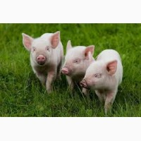 Свиньи Живым весом. Включена доставка