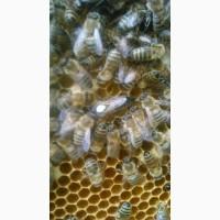 Продам бджоломатки Карніка-Карпатка