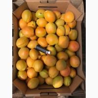 Продам абрикос Олимп отличного качества
