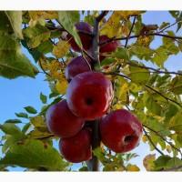 Продам яблука урожаю 2019 р. сорт Флорина, с.Романківці Сокирянський р-н