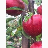 Продам яблоко в большом количестве по оптовой цене! // Оптова продаж яблук