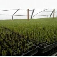 Выращиваем рассаду Баклажана и других овощей в кассетах под заказ