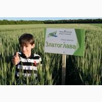 Семена пшеница озимая Златоглава