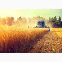 Куплю пшеницу с поля, со склада