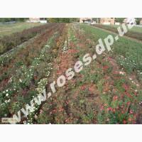 Саженцы роз, плетистые, бордюрные, парковые и штамбовые розы