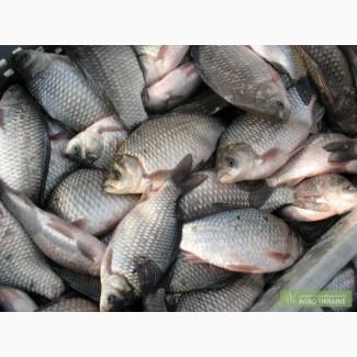 Свежая рыба Карась Толстолоб Лещ Судак