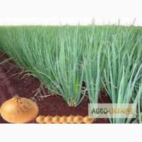 Продам лук Штутгарт ( севок) для выгонки зеленого лука от производителя. заказ от 100кг