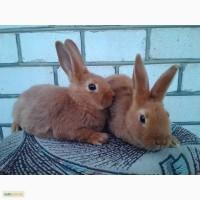 Продам кроликов породы Полтавское серебро, НЗК