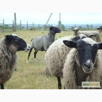 Продаємо романівські вівці