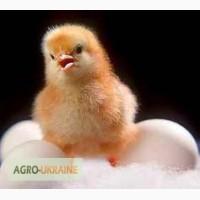 Інкубація яєць