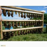 Пчеломатки Карпатской породы 2017