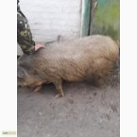 Продам дику свиню