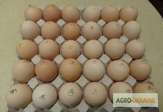 Фото 4. Яйця інкубаційні м ясо-яєчних курей Домінант Угорщина імпорт