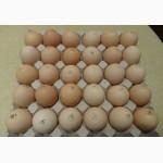 Яйця інкубаційні м ясо-яєчних курей Домінант Угорщина імпорт
