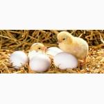 Инкубационное яйцо. Бройлер и мясо яичные породы кур