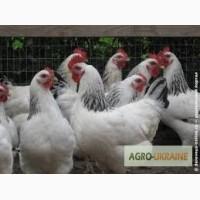 Суточные цыплята кур породы Адлерская серебристая